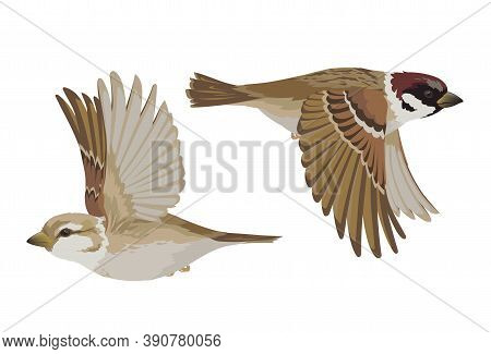 Couple Of Realistic Sparrows Flying. Vector Illustration Of Little Birds Sparrows In Hand Drawn Real