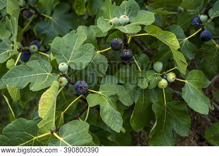 Ripe Purple Figs On A Tree. Closeup Detail Of Texture And Color. Selective Focus