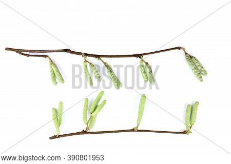 Branch Of Hazel With Catkins Isolated On A White Background. Green Catkins On Hazel Branch.corylus A