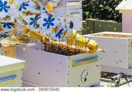 Beekeeper Controlling Beehive And Comb Frame, Harvesting Honey. Beekeeping Concept.