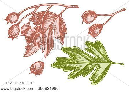 Vector Set Of Hand Drawn Pastel Hawthorn Stock Illustration