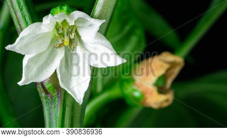White Fresh Flower Blooming In The Foreground With Already Pollinated One In The Background. Differe