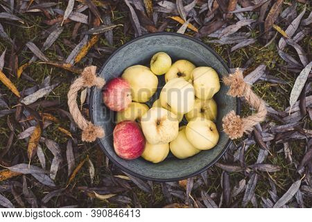 Garden Apples In A Large Vintage Iron Bowl, Coutryside Autumn Harvest Concept