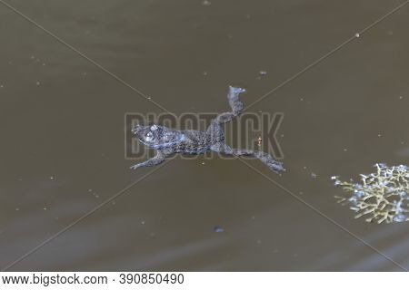 A Yellow-bellied Toad, Bombina Variegata, In Brown Water.