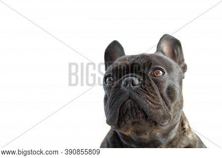 Beautiful French Bulldog. Close-up Of The French Bulldogs Muzzle Isolate. Muzzle Isolated On White B