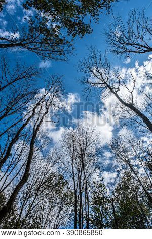 Looking Upwards Towards A Cluster Of Barren Trees Against The Vibrant Blue Sky With White Clouds Sur