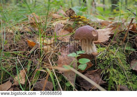 Natural White Mushroom Porcino, Bolete, Boletus Growing In A Forest, Autumn Background