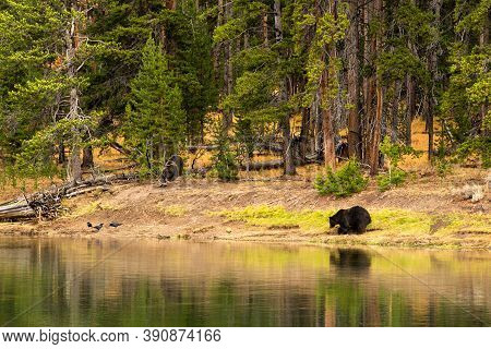 Grizzly Bears And Elk Carcass Killed In Yellowstone National Park, Yellowstone River In Hayden Valle