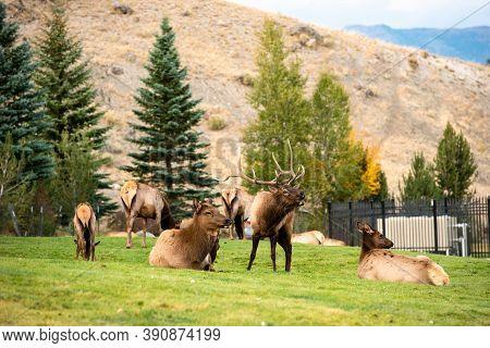 Elk Bugling, Bull With Large Antler Rack In Yellowstone National Park, Female Cow Elk Harem Lying Do