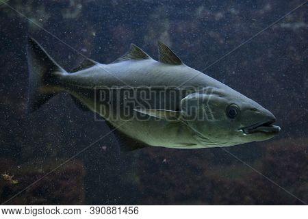 The Saithe Fish (pollachius Virens) In Aquarium.