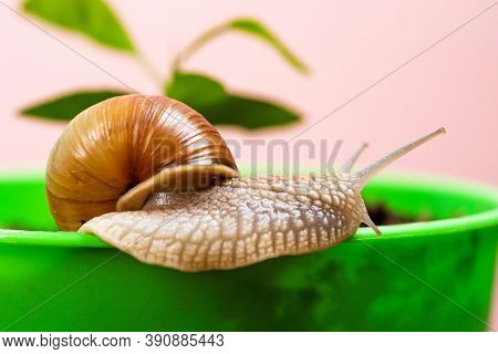 Cosmetology Beauty Procedure. Cute Snail Near Green Plant. Natural Remedies. Adorable Snail Close Up