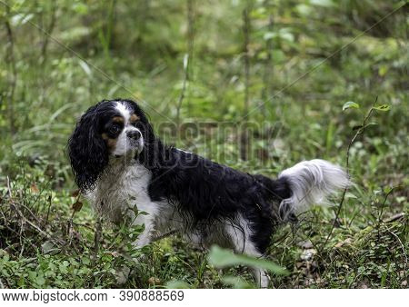 Dog Breed Cavalier King Charles Spaniel Walking In The Forest, Summer