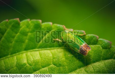 Green Leaf Insect On Green Leafs. Insects / Bugs - Leaf Insect (phyllium Bioculatum) Or Walking Leav