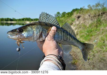Caught Zander Fish Or Walleye In Fisherman's Hand