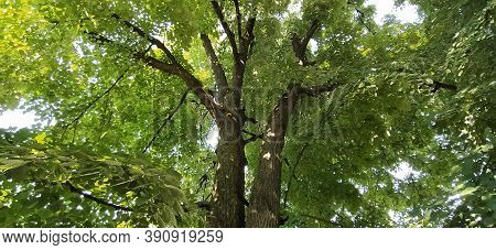 A Linden Tree With Its Branches Spread Wide. Fresh Linden Greens, Full Green Tree Crown. Serbia, Voj