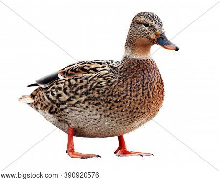 Colourful Mallard Or Wild Duck (anas Platyrhynchos) Isolated On A White Background. Selective Soft F