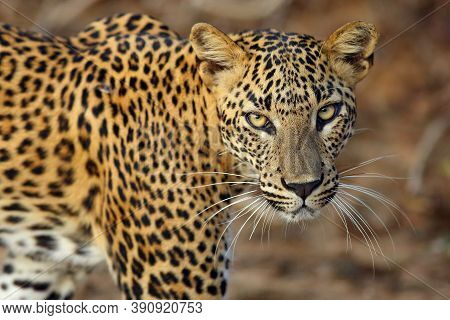 The Sri Lankan Leopard (panthera Pardus Kotiya), Female Portait Of Wild Leopard