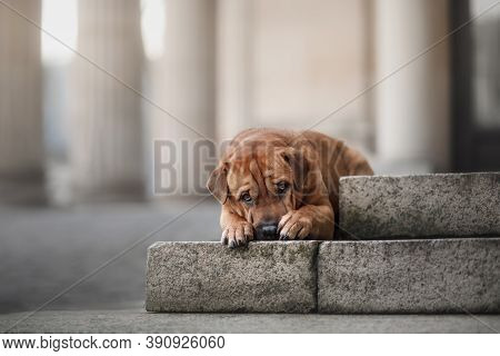 Shar Pei Mix Dog On The Steps. Obedient Pet For A Walk