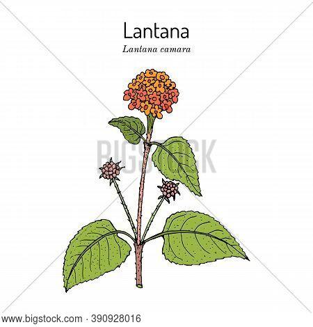 Common Lantana Lantana Camara , Or Big-sage, Wild-sage, Red-sage, White-sage, Tickberry And Umbelant