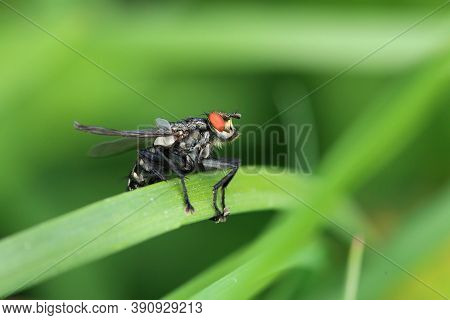 Flesh Fly In Big Detail On The Grass
