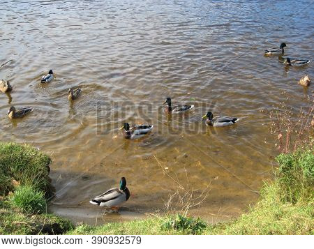 Macro Photo With A Decorative Background Of Waterfowl Ducks On The River Water In An Urban Environme