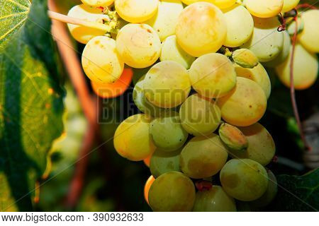 Riesling Grapes Growing,  Good For Making Wine