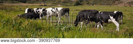 Cattle Grazing In A Field In Wareham, Dorset In The Uk