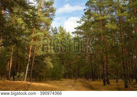 Autumn Pine Forest In Sunny Weather Against A Blue Sky