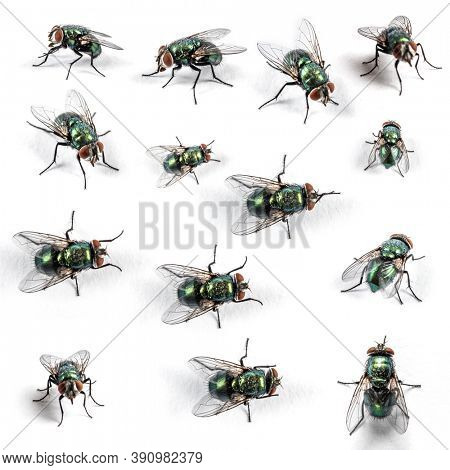 Collection of Green bottle fly, isolated