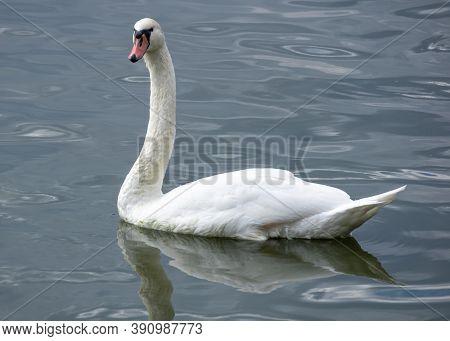 Single White Male Swan Swimming In Lednice Ponds
