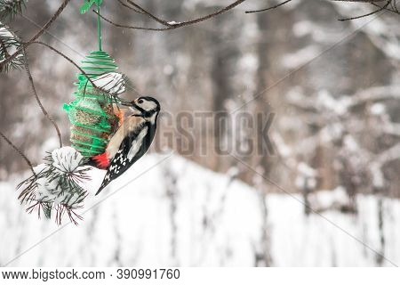 Great Spotted Woodpecker Bird Eating Seeds In Winter Forest. Winter Background With Copy Space.