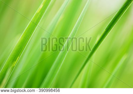 Abstract background of fresh green grass. Extreme macro close-up, shallow DOF.