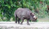 rhinos walk in Miami zoo poster