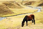 Cattle in Cordiliera Huayhuash, Peru, South America poster