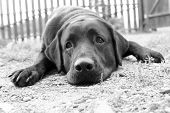 Cute sad dog in B&W (e.g. can be used for 'Missing You' or 'Please Forgive Me' poster
