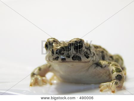 Toad Or Frog?