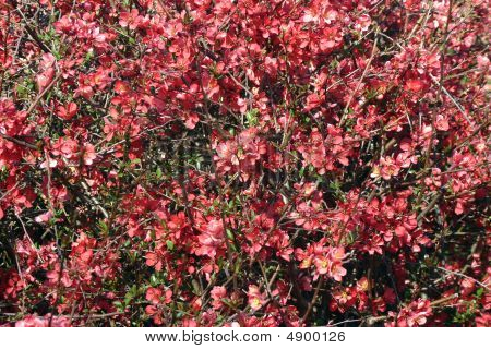 Flowering Quince Thicket