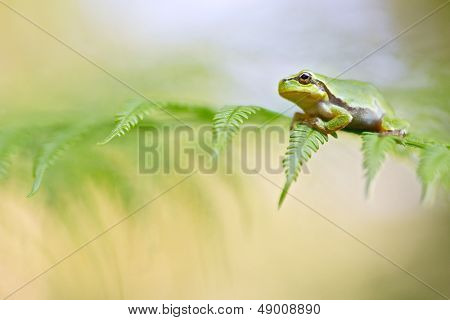 European tree frog new life, a young Hyla arborea between a green fern background. A beautiful endangered species and in need for nature conservation. Protect our wildlife! poster