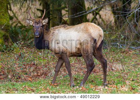 Grazing Buck Elk