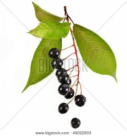 bird cherry branch with berries close up isolated on a white background poster