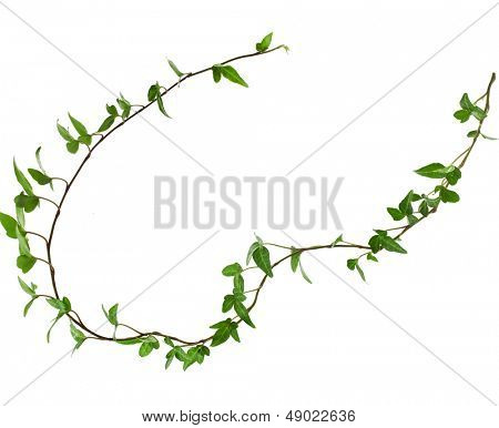 Border Frame made of Green climbing plant isolated on white background