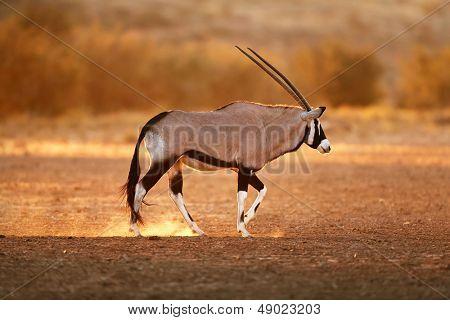 Gemsbok walking on dusty soil with last light of day ( Oryx gazella) - Kalahari -  South Africa