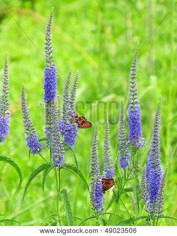 Butterflies On A Meadow