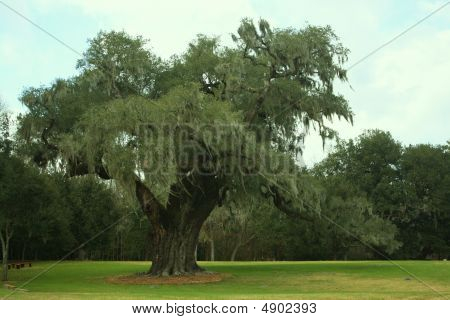 Live Oak Tree In The Park