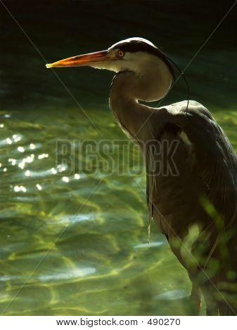 grey heron (ardea cimerea) poster