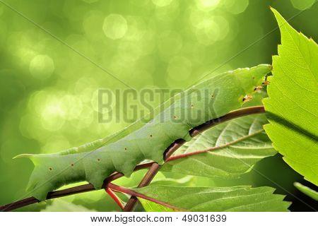 Caterpillar on green leaf,closeup.