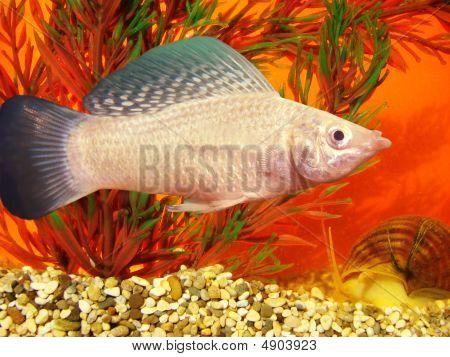 Aquarium Fish Mollineziya Wind-driven Mollienesia Velifera Regan