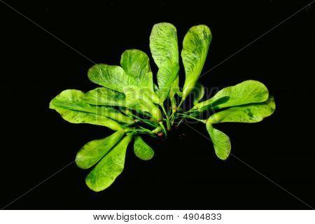 Sugar Maple Seedlings