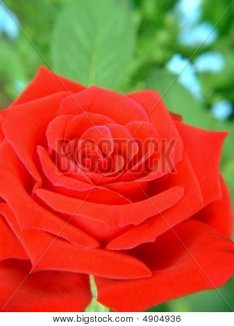 Vivid Red Rose Background