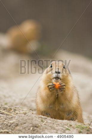 Female Prairie Dog Eating Carrot